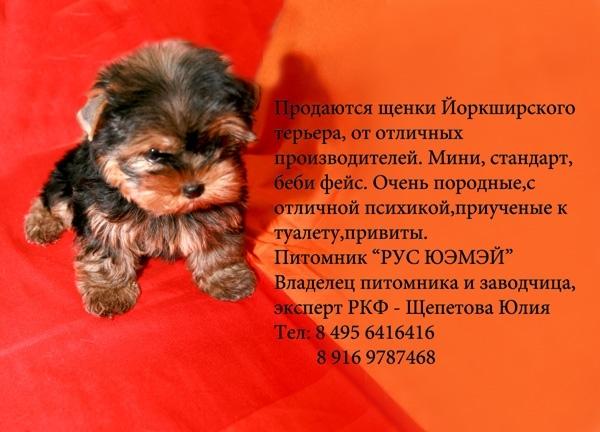 йоркский мини терьер продажа: