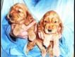 Продаются высокопородистые щенки английского кокер-спаниеля золотисто-рыжего окраса.