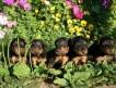 щенки р. 7 августа 2010 г. 4 кобеля и 2 суки, перспективные для выставок и разведения, а так же для охоты.