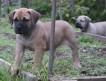 БУРБУЛЯ южноафриканского алиментного щенка продаю. Любимая собака олигархов. Надежная охрана и прекрасный компаньон.