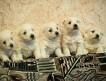 Продаются щенки рожденные 13.12.2010. Привиты. Отличная родословная. 3 мальчика и 2 девочки. Цена за шт.
