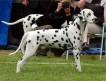 В августе 2011г. ожидаются щенки далматина от молодой пары прекрасных собак:
