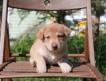 Отдадим щенков лайки 1.5 месяца, очень красивые!