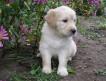 Продаются очаровательные щенки голден ретривера