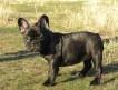 Продаётся щенок Французского бульдога, девочка тёмно-тигровая, дата рождения 23.06.2011.