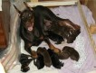 Питомник Дар Фэльвен предлагает щенков добермана с отличной родословной от титулованных родителей.