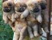 Перспективные щенки чау-чау с интересной родословной от титулованных родителей.