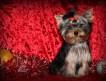 Продаются щенки йоркширского терьера, подрощенные мини девочки