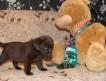Продаются коричневые щенки Лабрадора Ретривера!