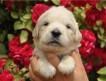 Предлагаются к продаже щенки золотистого голден ретривера : 4 мальчика и 4 девочки. Дата рождения 21.05.2013 г.