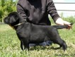 Черные щенки лабрадора от Чемпионов Питомник