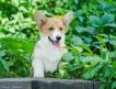 Продаётся красивый, ласковый, активный щенок вельш-корги пемброк, кобель, возраст 3 месяца.