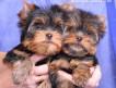 Питомник Дикий Лев (РКФ). Продаются щенки йоркширского терьера — 2 мальчика (мини и средний стандарт) (д.р. 19.11.13)