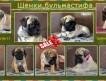 В продаже 9 щенков бульмастифа, дата рождения февраль 2014г., суки и кобели, бронзового, рыжего и палевого окрасов.
