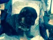 Продаются щенки Немецкой Овчарки, рожденные 29. 03. 2014г, чепрачные. Загородное вольерное выращивание, крупные, здоровые, крепкие, красивые.