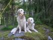 Золотистый Ретривер Высокопородеые щенки!