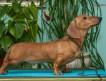 Миниатюрная такса подрощеный щенок